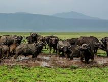 Manada del búfalo del cabo Fotografía de archivo libre de regalías
