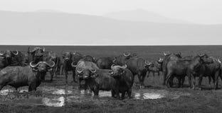 Manada del búfalo del cabo Foto de archivo