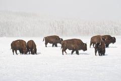 Manada del búfalo del invierno Imagen de archivo libre de regalías
