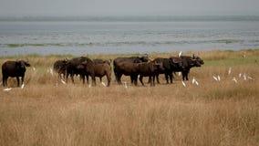 Manada del búfalo en la orilla del lago en el salvaje almacen de video