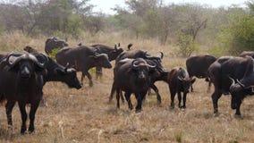 Manada del búfalo que camina en una tierra polvorienta en la sabana africana almacen de video