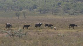 Manada del búfalo y del facoquero que pasta en el prado con la hierba seca del calor almacen de video