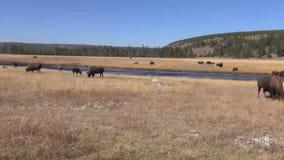 Manada del bisonte almacen de metraje de vídeo