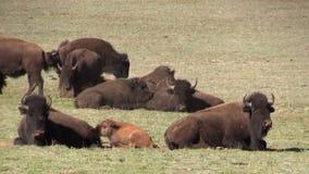 Manada del bisonte metrajes