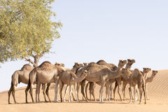 Manada del camello Fotografía de archivo