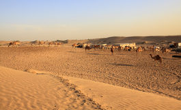 Manada del camello árabe Imágenes de archivo libres de regalías