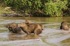 Manada del Capybara en alarma en agua Imagen de archivo libre de regalías
