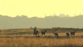 Manada del elaphus del cervus de los ciervos comunes en celo y que ruge durante puesta del sol metrajes