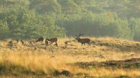 Manada del elaphus del cervus de los ciervos comunes en celo y que ruge durante puesta del sol almacen de video