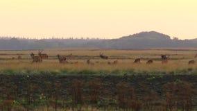Manada del elaphus del cervus de los ciervos comunes en celo y que ruge durante puesta del sol almacen de metraje de vídeo
