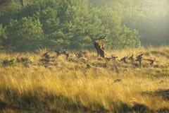 Manada del elaphus del cervus de los ciervos comunes en celo y que ruge durante puesta del sol foto de archivo