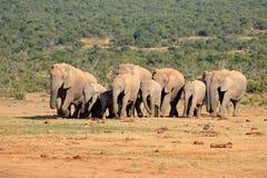 Manada del elefante africano Imagen de archivo