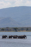 Manada del elefante africano y x28; Africana& x29 del Loxodonta; agua de la travesía Fotos de archivo libres de regalías