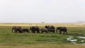 Manada del elefante después del baño del río en el parque nacional de Amboseli metrajes