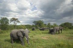 Manada del elefante en el llano del serengeti Fotografía de archivo