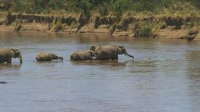 Manada del elefante en el medio del río de Mara en Kenia almacen de video