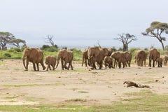 Manada del elefante en Kenia fotos de archivo libres de regalías
