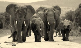 Manada del elefante en Suráfrica Fotografía de archivo