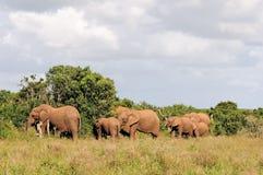 Manada del elefante, parque de Addo Elephant National, Suráfrica Imagen de archivo