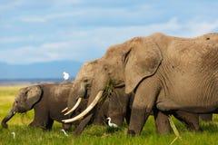 Manada del elefante que come la hierba Imagen de archivo