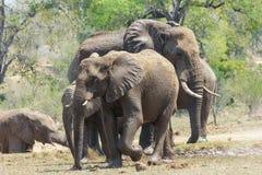 Manada del elefante que goza del agua fresca de un agujero de riego casi seco imagen de archivo libre de regalías