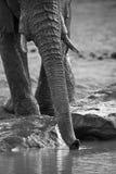 Manada del elefante que juega en agua fangosa con la diversión Imagen de archivo libre de regalías