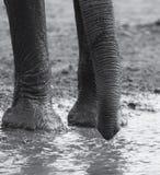 Manada del elefante que juega en agua fangosa con la diversión Fotografía de archivo libre de regalías
