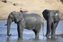 Manada del elefante que juega en agua fangosa con la porción de diversión Foto de archivo