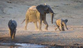 Manada del elefante que juega en agua fangosa con la porción de diversión Imagen de archivo