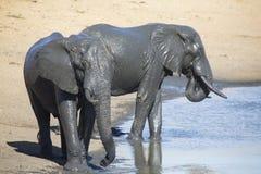 Manada del elefante que juega en agua fangosa con la porción de diversión Imagenes de archivo
