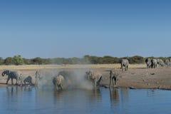 Manada del elefante que llega el waterhole en el parque nacional de Etosha, Namibia Fotos de archivo