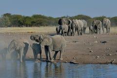Manada del elefante que llega el waterhole en el parque nacional de Etosha, Namibia Fotografía de archivo libre de regalías