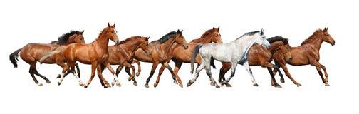 Manada del funcionamiento de los caballos salvajes aislada en blanco Imagen de archivo