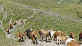 Manada del ganado que pasta Fotos de archivo