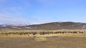 Manada del ganado y de las ovejas que pastan en la estepa grande almacen de metraje de vídeo