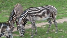 Manada del grevyi del Equus de la cebra del Grevy que pasta en hierba verde almacen de video