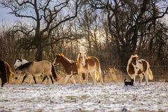 Manada del haflinger, de la pintura y de los caballos marrones foto de archivo