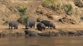 Manada del hipopótamo en la orilla del río en masai Mara, Kenia metrajes