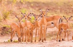 Manada del impala del bebé Imagenes de archivo
