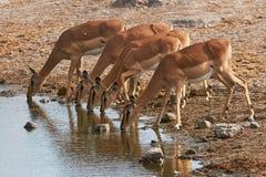 Manada del impala negro-hecho frente Fotografía de archivo libre de regalías