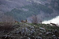 Manada del lobo foto de archivo libre de regalías
