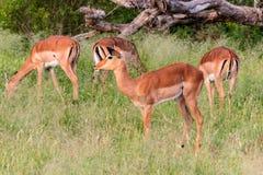 Manada del melampus que se coloca en altas hierbas, parque nacional de Kruger, Suráfrica del Aepyceros del impala Imagen de archivo