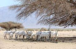 Manada del Oryx Imagen de archivo