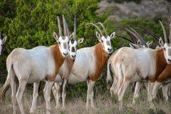 Manada del Oryx de la cimitarra imagen de archivo