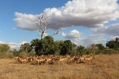 Manada del parque nacional del kruger de los impalas foto de archivo libre de regalías