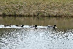Manada del pato silvestre y de los patos de la fauna que nadan y que establecen en el agua foto de archivo