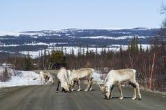 Manada del reno en el camino Suecia Foto de archivo libre de regalías