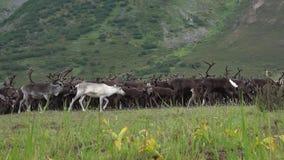 Manada del reno en las colinas de los Urales polares, día de agosto Rusia almacen de metraje de vídeo