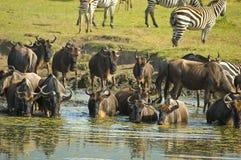 Manada del Wildebeest imagen de archivo