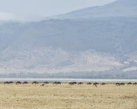 Manada distante del ñu con dos avestruces en el primero plano Imagen de archivo